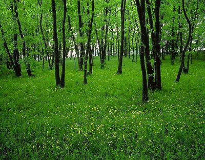 雑木林2(キンポウゲ)